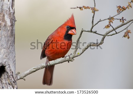 Northern Cardinal on budding branch