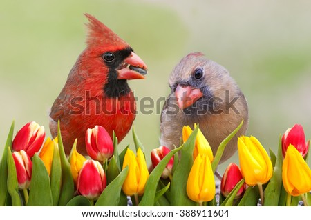 Northern Cardinal Pair in Tulip Garden - stock photo