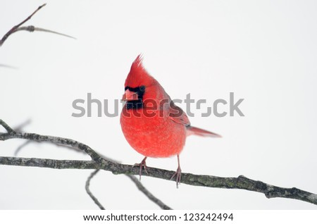 Northern cardinal perched on a stick following a heavy winter snowstorm