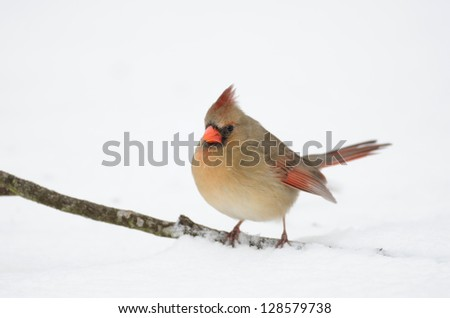 Northern cardinal perched on a stick following a heavy winter snowstorm - stock photo