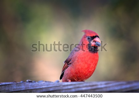Northern Cardinal sits on a fence eating a black sunflower seed - stock photo