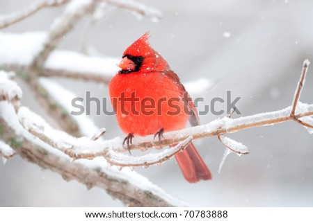 Northern cardinal sits perched on a ice covered branch following winter storm - stock photo