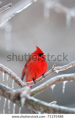 Northern cardinal sitting on an ice covered branch following winter storm