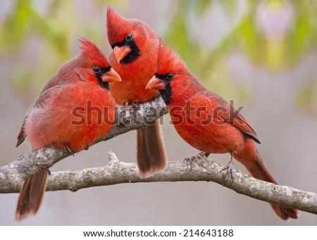 Northern Cardinal Trio - stock photo