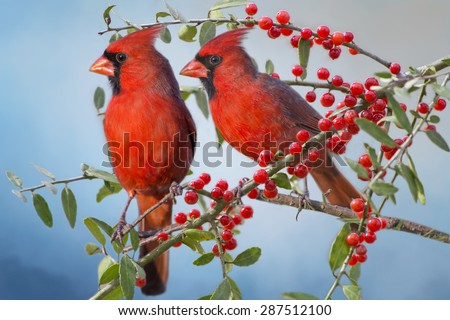 Northern Cardinals on Yaupon Holly Branch - stock photo