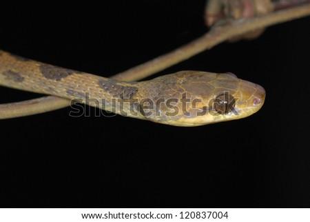 Northern Cat-eyed Snake (Leptodeira septentrionalis) in Costa Rica rainforest - stock photo