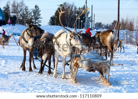 Northern deer are in harness on snow in winter on background countryside.