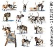 Northern deer are in harness on white background. - stock photo