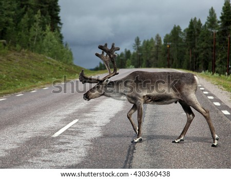 Northern deer on the road in Sweden - stock photo