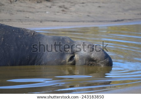 Northern Elephant Seal - stock photo