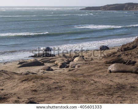 Northern elephant seal (Mirounga angustirostris) is one of two species of elephant seal that lives in the eastern Pacific Ocean.