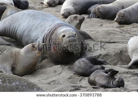 Northern Elephant Seal (Mirounga angustirostris) male among females and pups, California, USA - stock photo