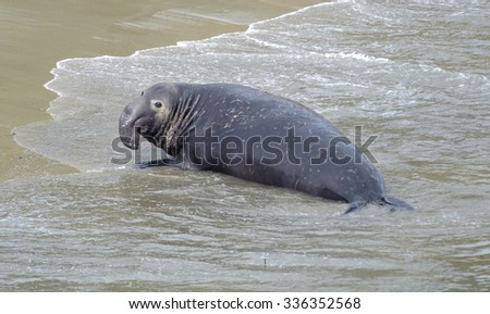 Northern Elephant Seal (Mirounga angustirostris) male hauls out on to the beach at Elephant Seal overlook,  Point Reyes National Seashore, California, USA - stock photo