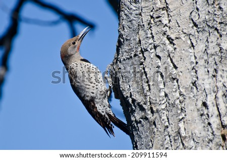 Northern Flicker Clinging To Side of Tree - stock photo