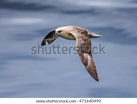 Northern Fulmar in flight near Longyearbyen, Svalbard, Norway
