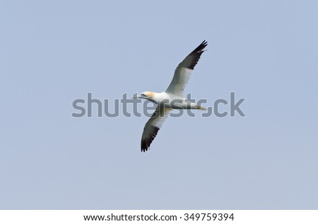 Northern gannet in flight under the sky - stock photo