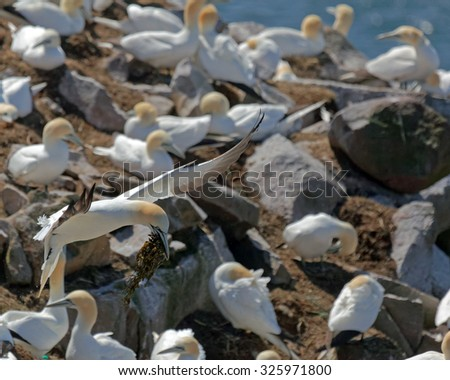 Northern gannet in flight with nesting materials. - stock photo
