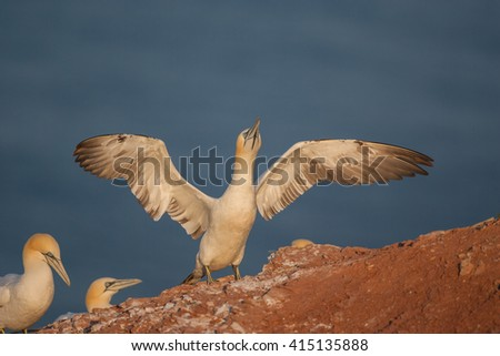 Northern gannet is landing on the rock - stock photo