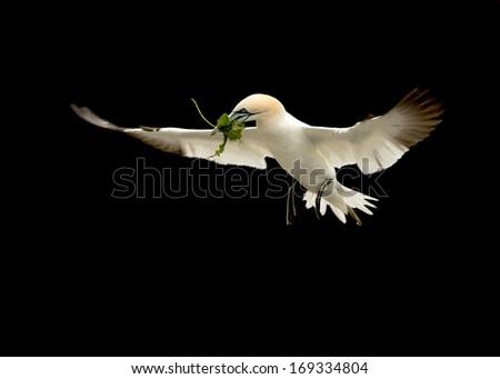 Northern gannet (Morus bassana) in flight with nest material against black background in Noss, Shetland. - stock photo