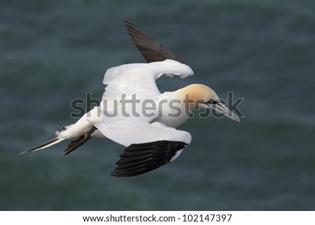 Northern Gannet (Morus bassanus) in flight over the cliffs of Heligoland.