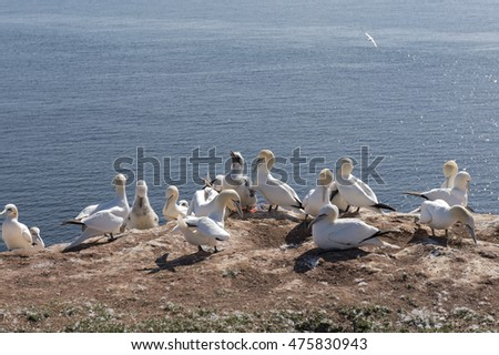 Northern Gannet on the island of Helgoland