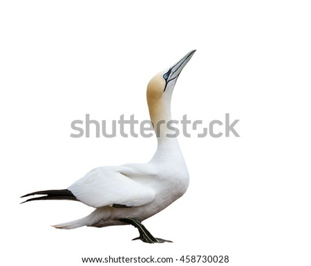 Northern Gannet Portrait on White Background, Isolated