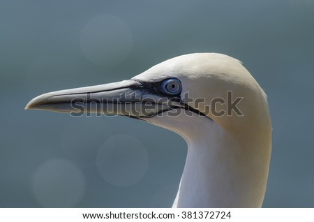 Northern gannet portrait with bokeh
