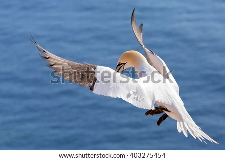 Northern gannet (Sula bassana), beautiful flying sea bird with blue sea water in the background, Helgoland island, Germany - stock photo
