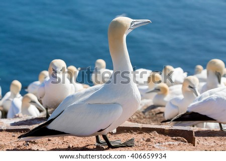 Northern gannet (Sula bassana), beautiful sea bird, sitting on the nest with blue sea water in the background, Helgoland island, Germany - stock photo