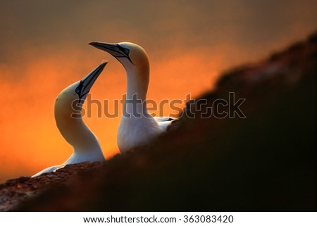 Northern Gannet, Sula bassana, detail head portrait with evening sun and dark orange sea in the background, beautiful birds in love, pairs of animals on Helgoland Island, Germany - stock photo