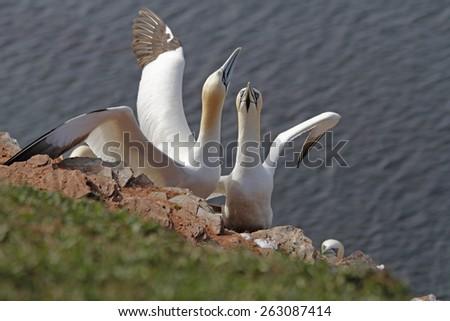 northern gannets - stock photo