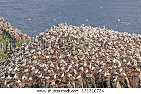 Northern Gannets on Cape St Mary in Newfoundland - stock photo