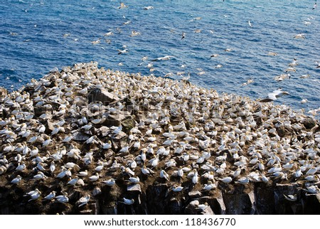 Northern Gannets rookery at Cape St. Marys Ecological Reserve in Newfoundland, Canada - stock photo