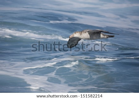 Northern Giant-Petrel (Macronectes halli) adult in flight over the Scotia Sea. - stock photo