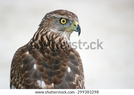 northern goshawk - stock photo