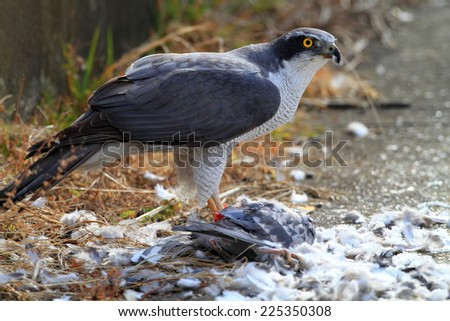 Northern Goshawk (Accipiter gentilis) eating dove in Japan  - stock photo