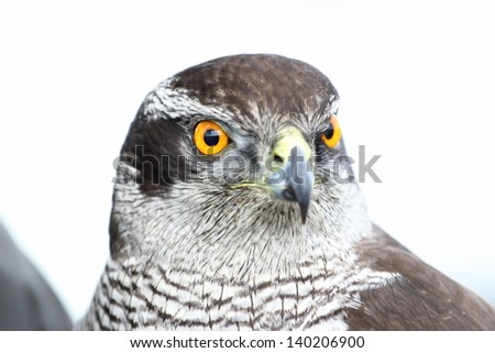 Northern  Goshawk (Accipiter gentilis) typical look of falcon - stock photo