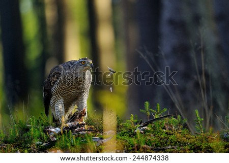 Northern goshawk on the ground with hunted prey - stock photo