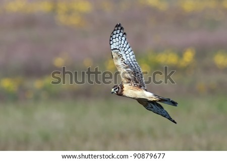 Northern Harrier (Circus cyaneus), also known as a Marsh Hawk in flight over colorful background. - stock photo