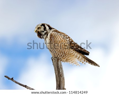 Northern Hawk-Owl - Calling to Mate