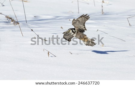 Northern Hawk Owl in flight, low to the ground, hunting prey.   - stock photo