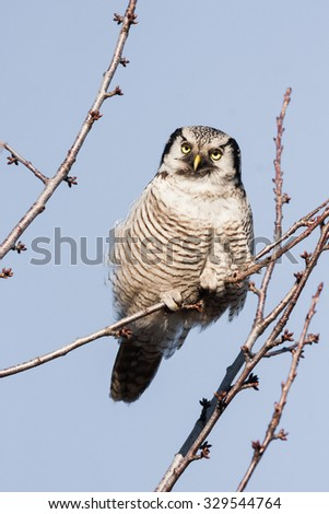 northern hawk owl (Surnia ulula) sitting on a branch