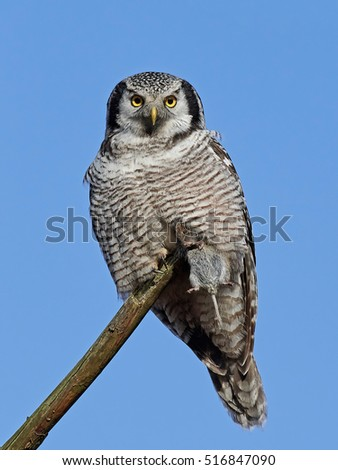 Northern hawk-owl (Surnia ulula) sitting on a branch with with a rodent in its claw