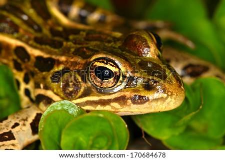 Northern Leopard Frog (Rana pipiens) close up. - stock photo