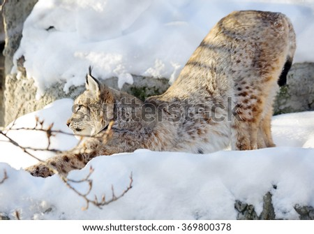 Northern lynx The Northern lynx is the largest lynx. Paws are large, well furred in winter, which allows the lynx to walk on snow without sinking. Ear long tassels.