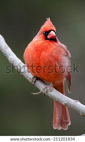 Northern Male Cardinal - stock photo