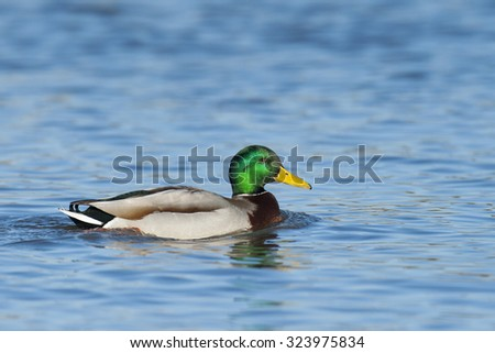 Northern mallard on the river - stock photo