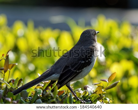 Northern Mockingbird looking away appearing lost in thought contemplating.      - stock photo