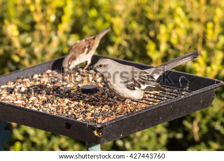 Northern Mockingbird (Mimus polyglottos) and common sparrow on tray-type bird feeder.  Mockingbird is probably looking for bugs and spiders. - stock photo