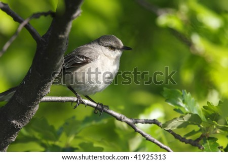 Northern Mockingbird (Mimus polyglottos) in tree in New York City's Central Park